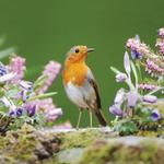 RSPB Robin Blank Greeting Card