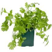 Ocado British Growing Coriander