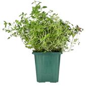 Ocado British Growing Thyme