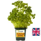 Ocado British Growing Curly Leaf Parsley