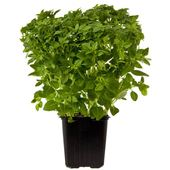 Ocado Growing Greek Basil Pot